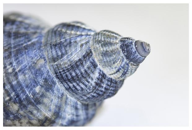 foto's, Wulk (Buccinum undatum), zeeslak
