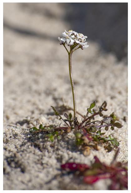 foto's, Klein tasjeskruid (Teesdalia nudicaulis), plant