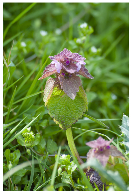 foto´s, Paarse dovenetel (Lamium purpureum), plant