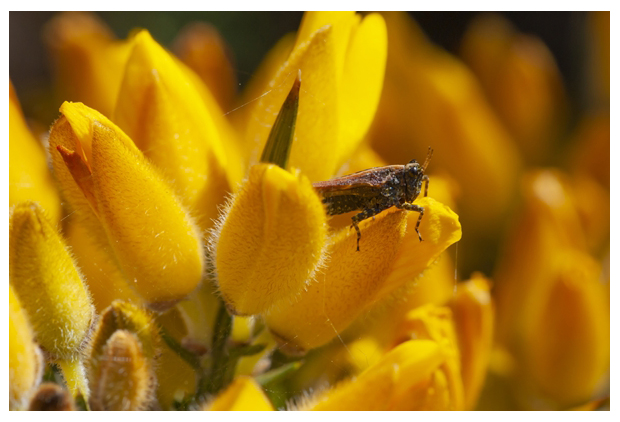 foto´s, Gaspeldoorn (Ulex europaeus)