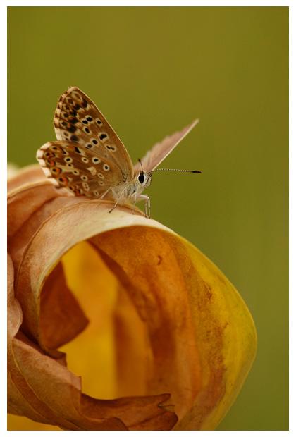 bleek blauwtje (polyommatus coridon),  bleekblauwtje, bleek blauwtjefoto´s, blauwtjes, blauw, blauwe vlinder, vlinders, vlindertje, vlindertjes, vlinderfotos, vlinderfoto´s, vlinderfoto's, dagvlinder, dagvlinders, insect, insecten, insekt, insekten