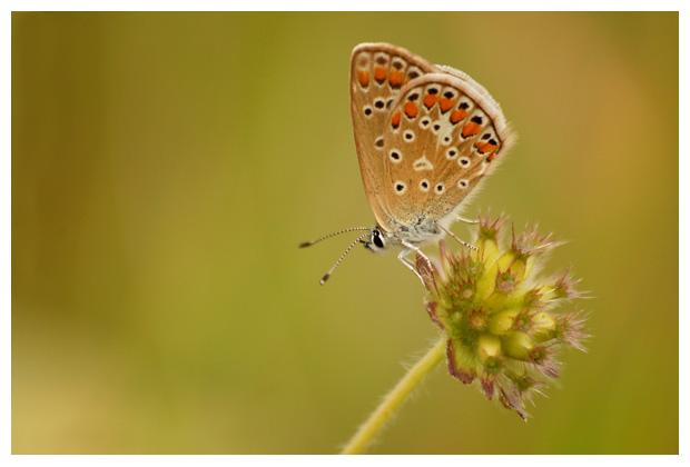 foto's, diverse soorten, verschillende, dagvlinder, dagvlinders