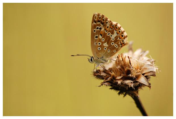 bleek blauwtje (polyommatus coridon)