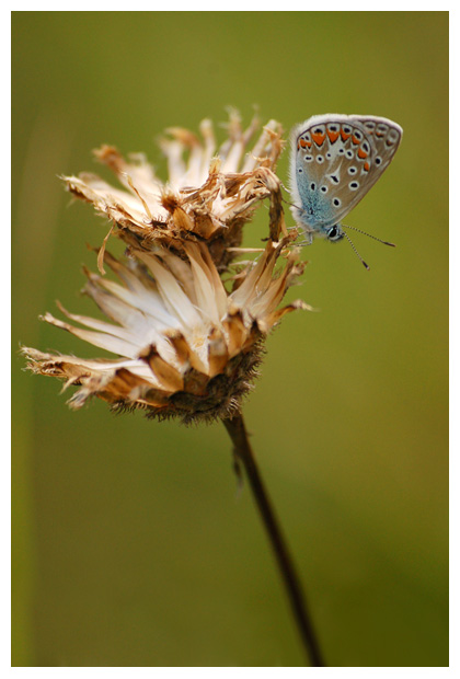 icarusblauwtje (polyommatus icarus), icarusblauwtjefoto´s, blauwtje, icarus, icarusje, blauw, blauwe vlinder, vlinders, vlindertje, vlindertjes, vlinderfotos, vlinderfoto´s, vlinderfoto's, dagvlinder, dagvlinders, dagvlinderfoto´s, dagvlinderfotos, insect, insecten, insekt, insekten