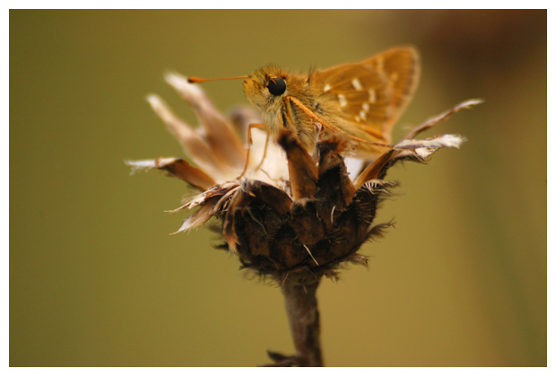 foto's, Kommavlinder (Hesperia comma), vlinder