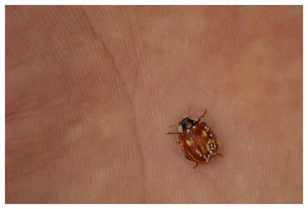 foto's, Gestreept lieveheersbeestje (Myzia oblongoguttata), kever