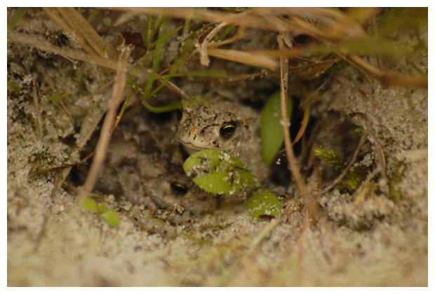foto´s, Rugstreeppad (Epidalea calamita), pad