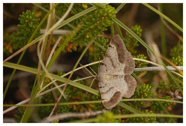 foto's, Bruine heispanner (Selidosema brunnearia), nachtvlinder