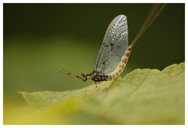 foto's, eendagsvlieg, haft (Ephemera danica)