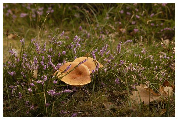 foto's, Zwavelmelkzwam (Lactarius chrysorrheus), paddenstoel
