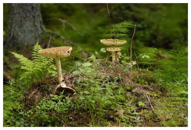 foto's, Panteramaniet (Amanita pantherina), paddenstoel