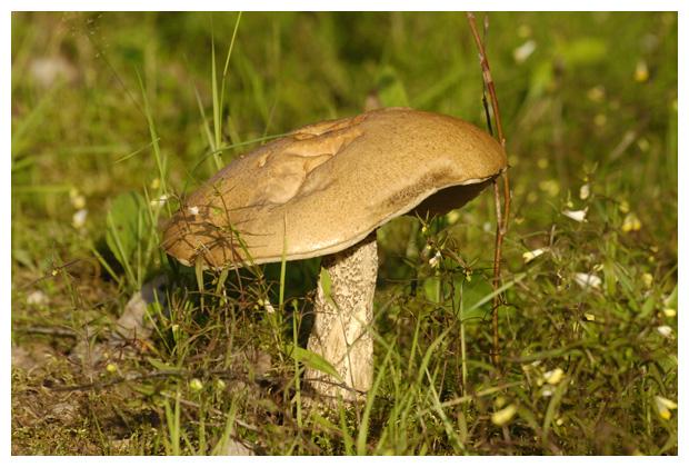foto's, Gewone berkenboleet (Leccinum scabrum), paddenstoel