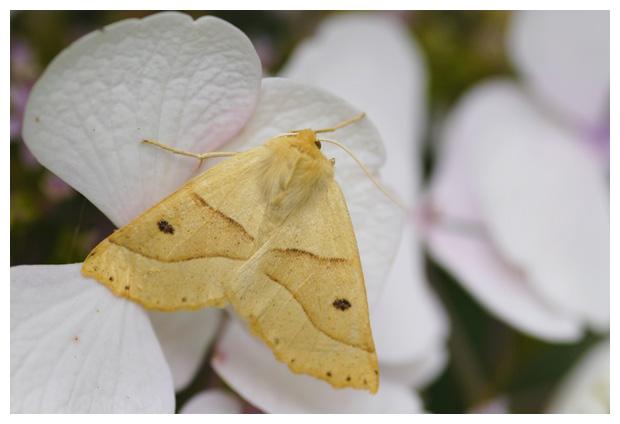 foto's, Kortzuiger (Crocallis elinguaria), nachtvlinder