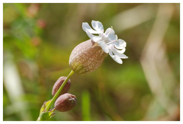 foto, Eénbloemige silene (Silene uniflora), plant