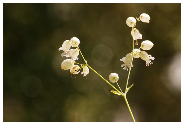 foto's, blaassilene (silene vulgaris)