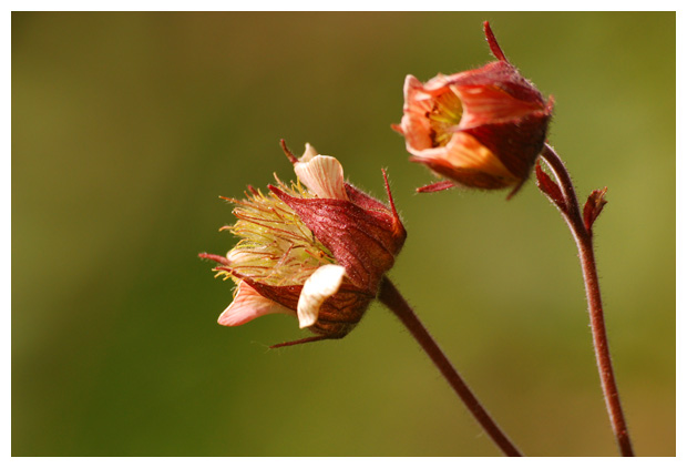 foto´s Knikkend nagelkruid (Geum rivale)