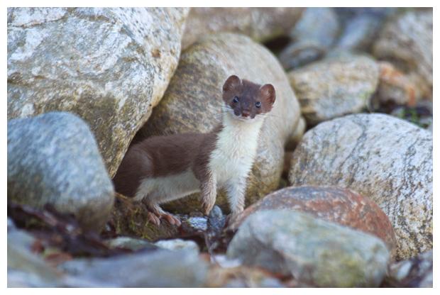 foto, Hermelijn (Mustela erminea), dier