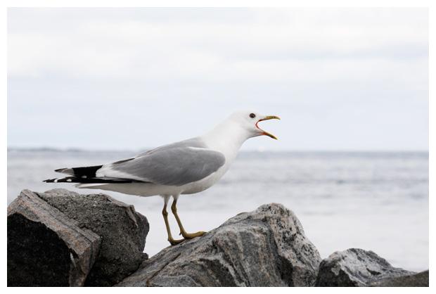 foto's, Stormmeeuw (Larus canus), meeuw