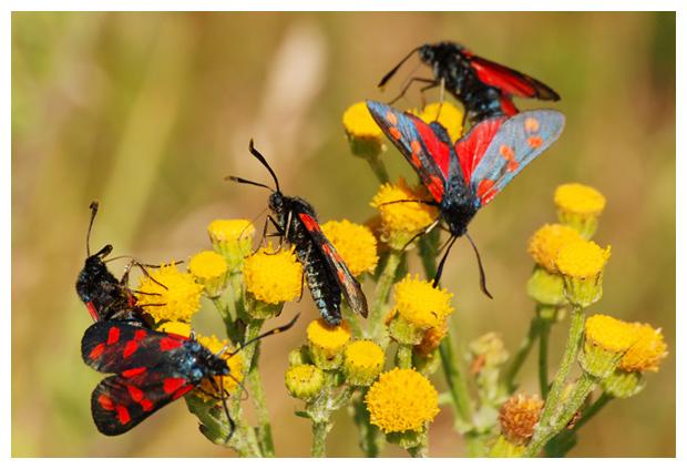 foto's, Sint-jansvlinder of bloeddropje (Zygaena filipendulae)