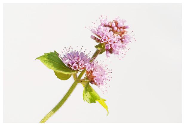 foto's, Watermunt (Mentha aquatica), plant