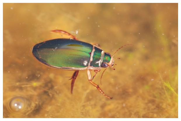 foto's, diverse verschillende soorten Waterroofkevers (Dytiscidae), kever