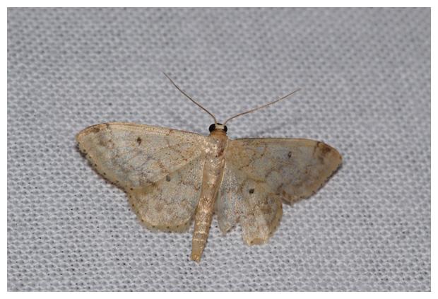 foto's, Schildstipspanner (Idaea biselata), nachtvlinder