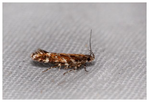 foto´s, Heidepistoolmot (Aristotelia ericinella), nachtvlinder