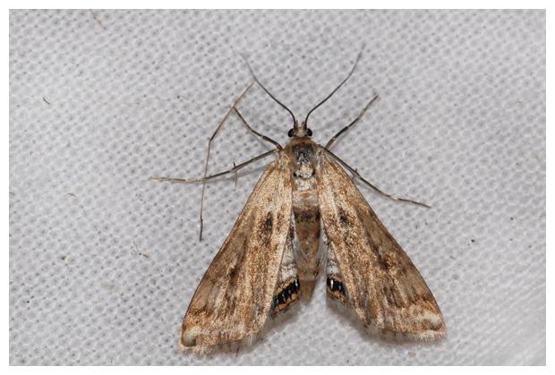 foto´s, Kroosvlindertje (Cataclysta lemnata), nachtvlinder
