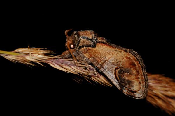 foto´s, Kameeltje (Notodonta ziczac), nachtvlinder