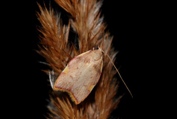 foto´s, Vuurmot (Carcina quercana), nachtvlinder