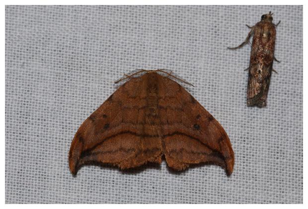foto's, Bruine eenstaart (Drepana curvatula), nachtvlinder