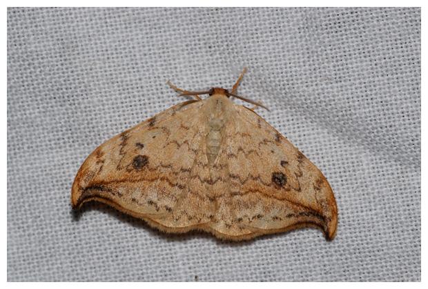 foto's, Berkeneenstaart (Drepana falcataria), nachtvlinder