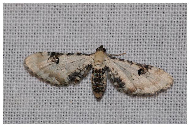 foto's, Zwartvlekdwergspanner (Eupithecia centaureata), nachtvlinder