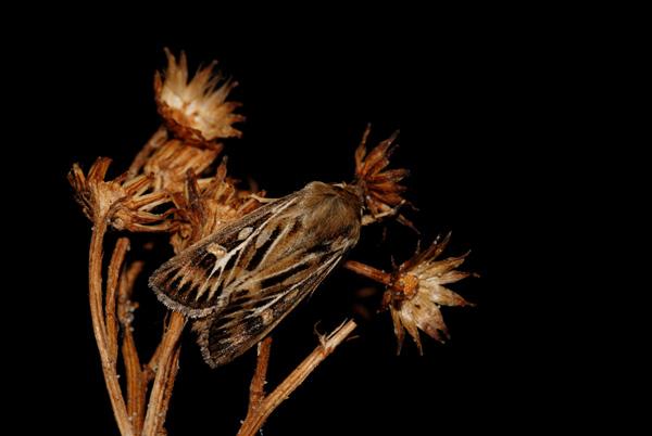foto´s, Graanworteluil (Euxoa tritici), nachtvlinder