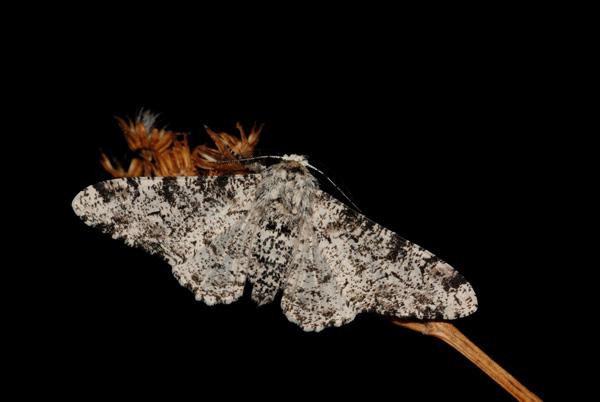 foto's, Peper-en-zoutvlinder (Biston betularia), nachtvlinder