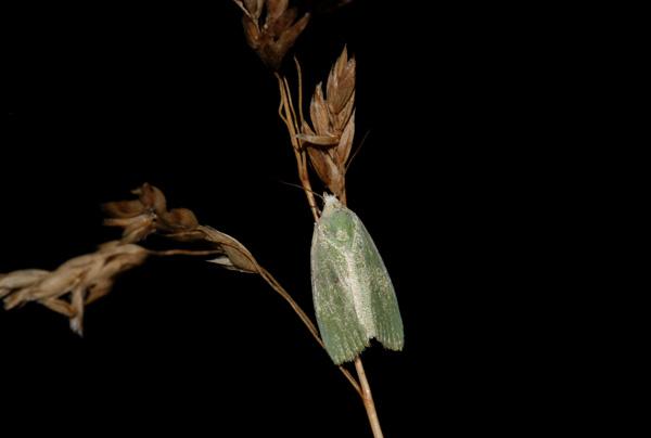 foto´s, Kleine groenuil (Earias clorana), nachtvlinder