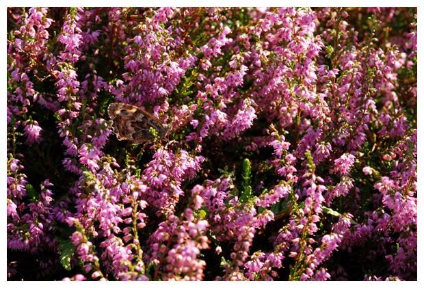 foto's, Struikhei (Calluna vulgaris), heide