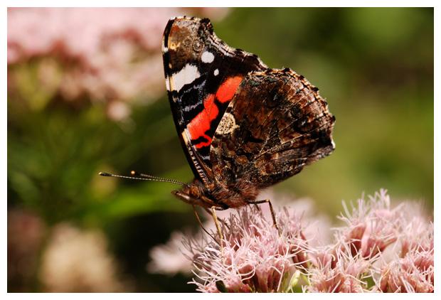 foto's, Atalanta, nummervlinder of admiraalsvlinder (Vanessa atalanta), vlinder