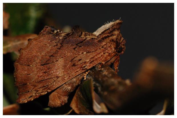 foto's, Kroonvogeltje (Ptilodon capucina), nachtvlinder