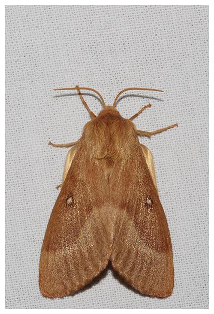 foto's, Hageheld (Lasiocampa quercus), rups