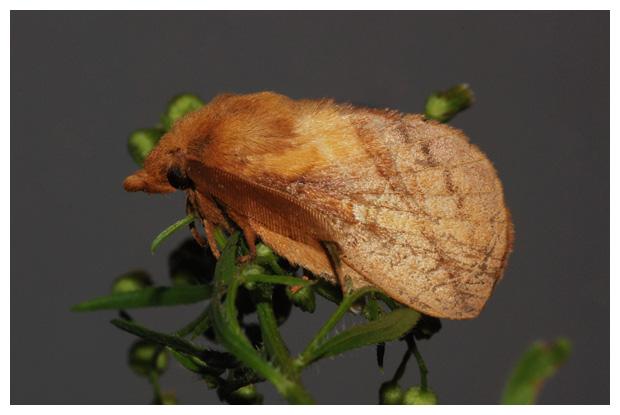 foto's, Rietvink (Euthrix potatoria), nachtvlinder