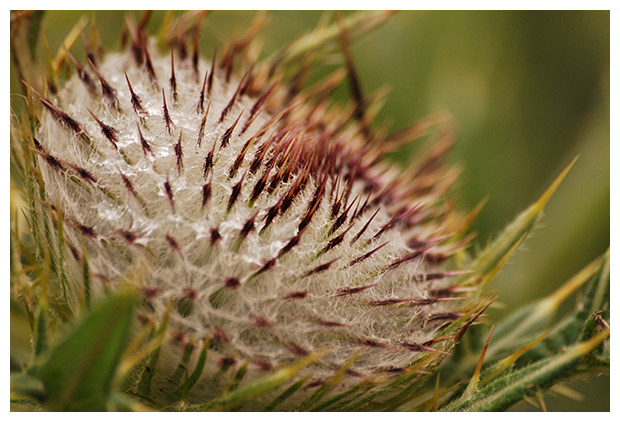 foto's, Wollige distel (Cirsium eriophorum), distel