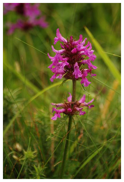 foto´s, Betonie of Koortskruid (Betonica officinalis), plant