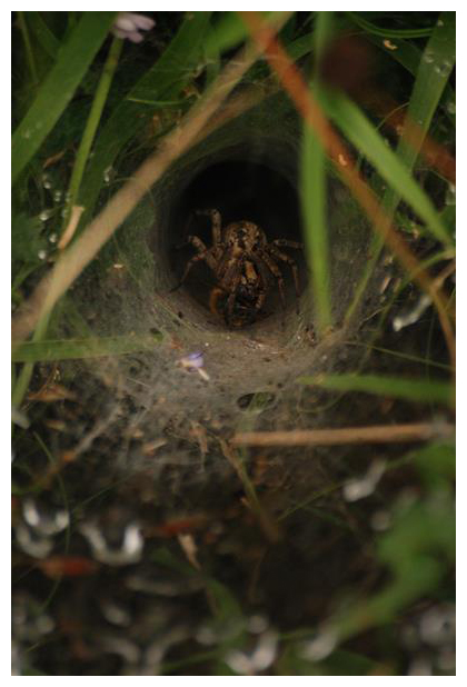 foto's, Gewone doolhofspin (Agelena labyrinthica), spin