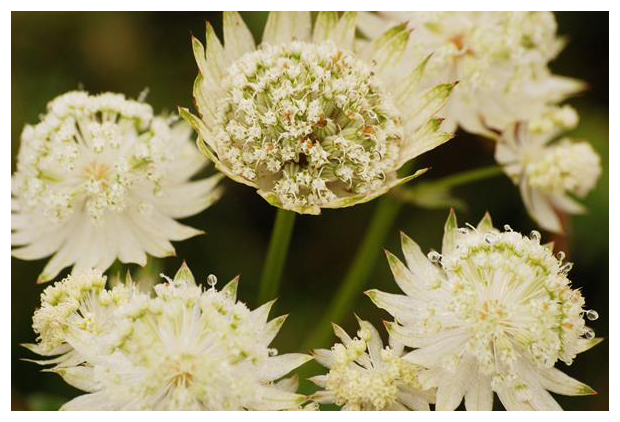foto's, Groot sterrenscherm of Zeeuws knoopje (Astrantia major), plant