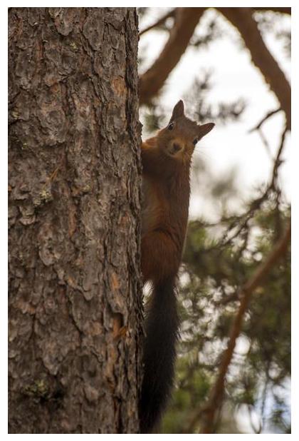 foto's, Eekhoorn, rode eekhoorn of gewone eekhoorn (Sciurus vulgaris)