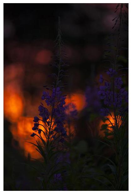 foto's, Wilgenroosje (Chamerion angustifolium of Epilobium angustifolium), plant