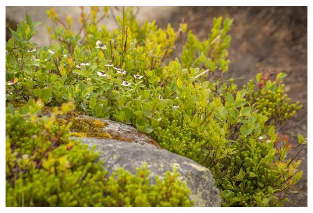 foto's, Zweedse kornoelje (Cornus suecica), Noorwegen