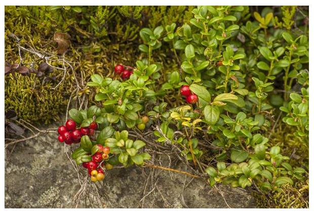 foto's, Rode bosbes, vossenbes (Vaccinium vitis-idaea)