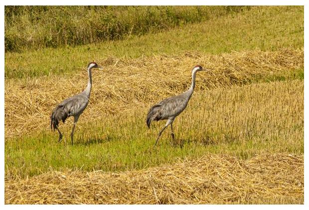 foto's, Europese -of Euraziatische kraanvogel (Grus grus)